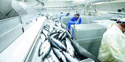 Slakting av laks. Arkivfoto: Tom Haga / Norwegian Seafood Council