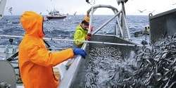 Loddefiske. Illustrasjonsfoto: Johan Wildhagen / Norwegian Seafood Council